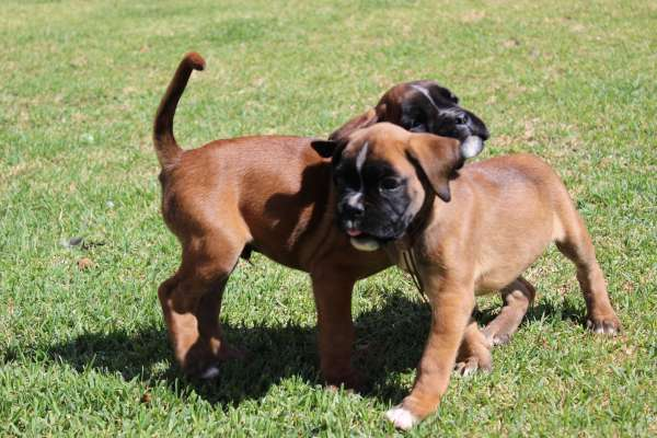 Boxer Puppies On Craigslist - Year of Clean Water