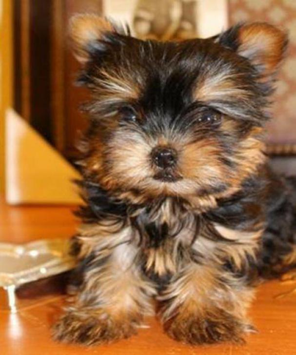 Teacup Yorkie Puppies For Sale In Beatrice Nebraska Puppies For Sale Near Me