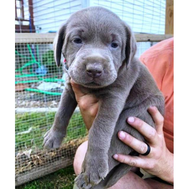 silver female lab puppies for sale