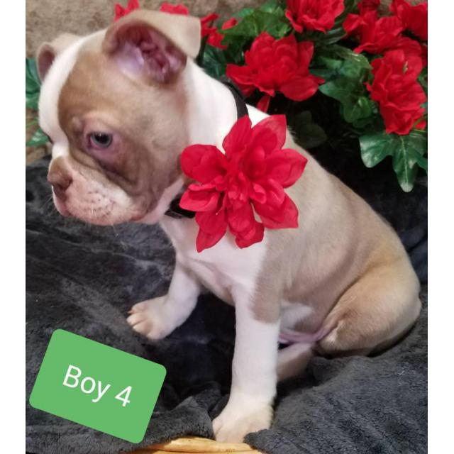5 Five Beautiful Akc Boston Terrier Puppies In Athens Ohio Puppies For Sale Near Me