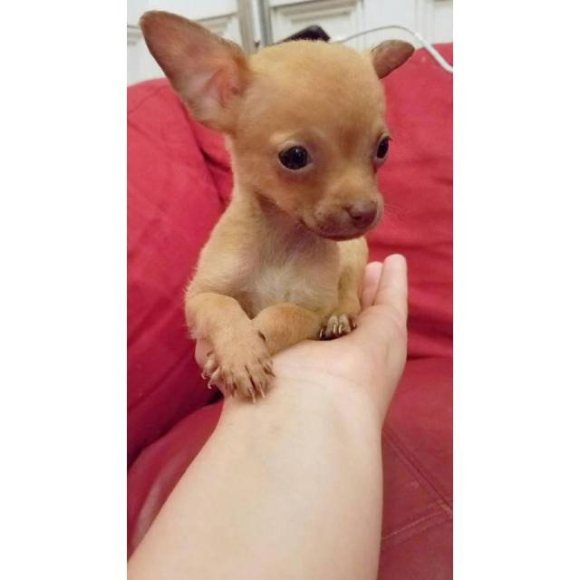 3 Teacup Chihuahuas For Sale In Jacksonville Florida Puppies For Sale Near Me