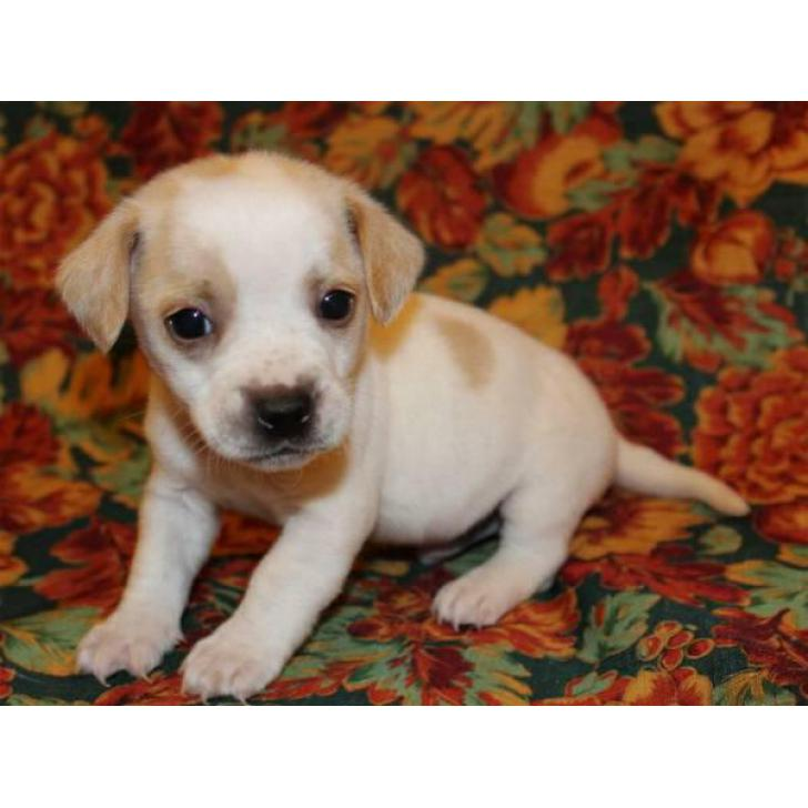 Chiweenie Mini Puppies For Sale In Dallas Texas Puppies For Sale Near Me