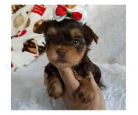 11 weeks old teacup tiny Yorkie puppies for sale in Burkburnett. Texas - Puppies for Sale Near Me