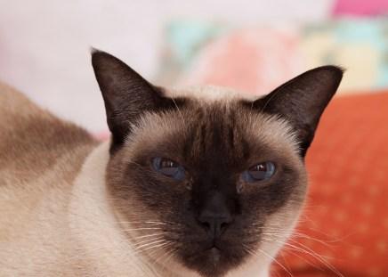 El gato siamés: de mitológico a doméstico