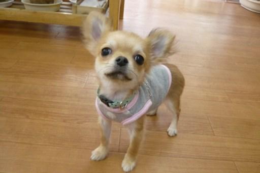 ロイくんですがとっても可愛く成長中です♪なんとか1kgになりましたぁ~!!!あとは毛がふいてくるのが楽しみです。飼い主様は最近『ロイくん本当に可愛いんです』とばかり言っています(笑)