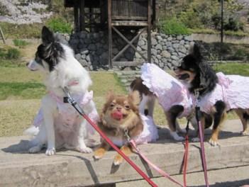 桜色のお洋服を着て、4チーでお花見ですよ。 暖かくて人も多いので、ご機嫌なひなです。