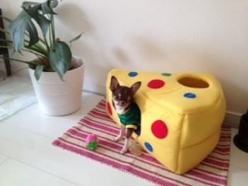 ティッカとタビーで遊べるハウスを 設置しました。 ティッカが可愛いので お写真送ります~。 モデル事務所に入れるか真面目に 検討し始めました(^▽^*) 周りにいつも言われるので…! 親バカですね(笑)