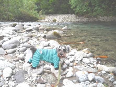 夏休みを頂きありがとうございました! ポルトの合宿を兼ねて東北地方を4泊5日で旅してきました。写真は福島裏磐梯の川遊びをパリチ。山から下りてくる水が冷たくて足先しか入ることはできませんでしたが、ポルトはおいしそうにお水を飲んでいました(^∇^)