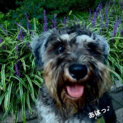 いつの間にか咲いていた、ヤブランの前でパチリ。 今日は旧東海道の商店街を仲良し生徒さんと社会化散歩しました♪