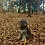今日は、品川区と目黒区のさかい目にある林試の森公園さんぽでパチリ。 ポルトは、枯葉のじゅうたんに大はしゃぎでした♪ 今、ポルトの足は針葉樹のにおいがします(o^^o)