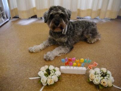 ポルト、先日2歳を迎えました🎂 これからもPuppyBeansのスタッフ犬、ポルトをどうぞよろしくお願いたします♪