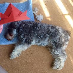 今日はこどもの日。 ポルトの昼寝中に兜をかぶせた風にパチリ。 連休中はよく遊び、よく眠りました(o^^o)