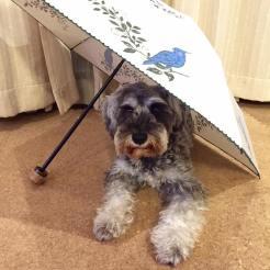 乾燥中の傘の下で緊張気味なポルトをパチリ。 わんちゃんは、いつも無いものの存在に警戒したりします。 もし気にしている時は慣れ練習も合わせて下をくぐる遊びはいかがですか(o^^o)