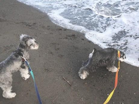 明けましておめでとうございます!今年もPuppyBeansをどうぞよろしくお願い致します。 今年最初のFacebookは、海辺の公園で波に興味津々のカポネくんとちょっとドキドキしているポルトをパチリ(*^-^*)♪