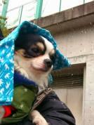雪の舞い散るお散歩でパチリ。 降る雪が不思議そうなオレオくんとポルトでした(^.^)