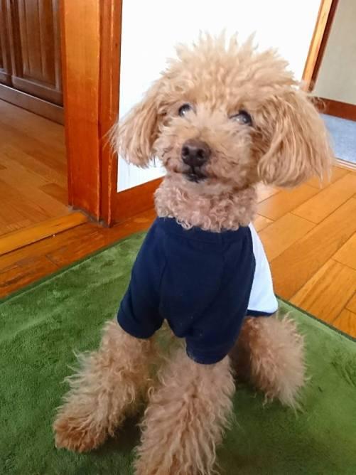 びしっ!とおすわりをする、くるみくんをパチリ。 PuppyBeans最年長のくるみくん、様々な経験を積んだシニアだからこその理解力の高さに思わず私がニコニコしちゃいます(*´ー`*)
