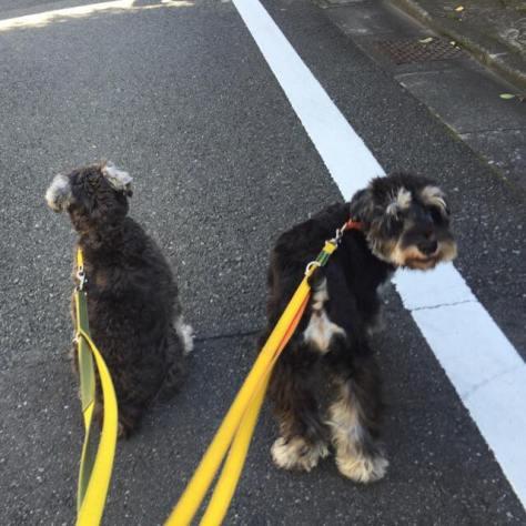 今日の散歩で、いたずら心をおこして、不意に立ち止まってみました。 右のカポちゃんは振り向き、左のポルトはそのままおすわり。 同じ犬種ですが、個性が出ましたっ(^.^) PuppyBeansでは、わんちゃんの性格の違いによって、トレーニング方法も変化させていきます♪