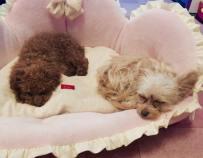 レッスン終わりのシンデレラ姫ちゃん&オーロラ姫ちゃんをパチリ。 久しぶりでしたので、疲れたようです(o^^o) 今日は、お姉さんわんちゃんも一緒に頑張ってくれました♪