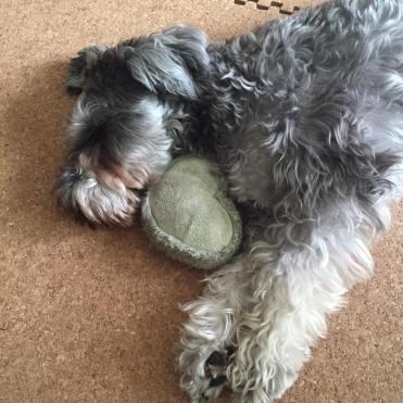 月曜日のポルトをパチリ。 帰宅時は、熱烈大歓迎をしてくれるポルトですが、すぐにお気に入りのおもちゃとお昼寝を決め込みます(( _ _ ))..zzzZZ ☆お知らせ☆Facebookページのまとめを更新しました♪よろしかったら見に来て下さいね(o^^o) https://puppybeans.tokyo/photo/