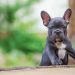 9 Best Healthiest Dog Foods For A French Bulldog Puppy In 2021 Puppy Dogger