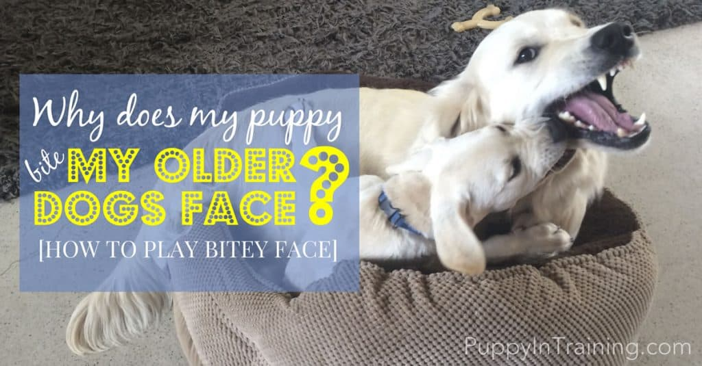 Why Does My Puppy Bite My Older Dog's Face? [How To Play ...