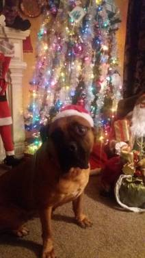 Carolyn P- Greta the bull Mastiff had some behavior issues. We got her some training and her foster mom ended up adopting her