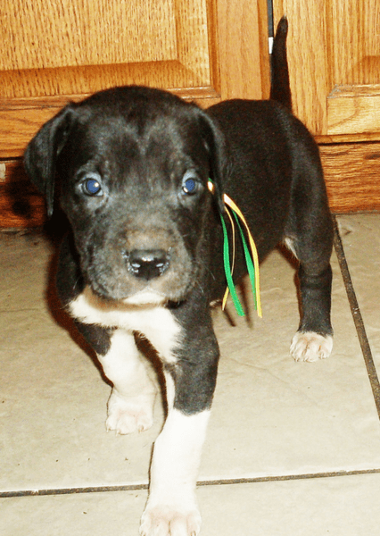 Cute puppy face of a great dane dog looking straight at