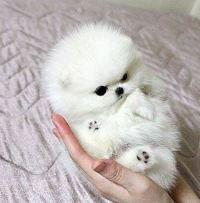 White Teacup Pomeranian Dog