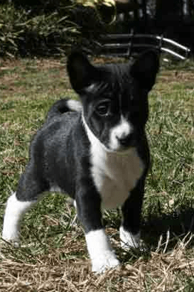Black and white Basenji puppy dog photoPNG 1 comment