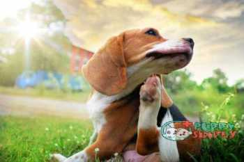Beagle dog scratching body on green grass outdoor in the park on sunny day. best dog food for allergies