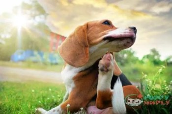 beagle dog scratching body on green grass outdoor in the park on sunny day. - flea dogs s and pictures best flea and tick pills for dogs