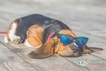 puppy of basset hound with sunglasses lying on a wooden floor - basset hound s and pictures Basset Hound dog breeds