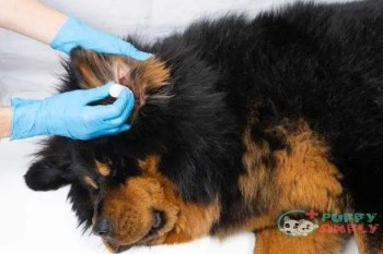 veterinarian doctor dripping medicine into the ears of a sick dog. treatment dogs have the vet. - ear mites s and pictures Treating Ear Mites in Dogs