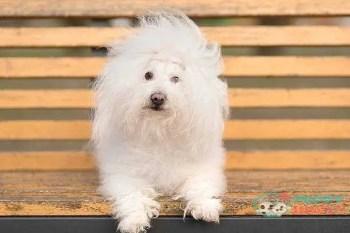 Bolognese toy dog breeds