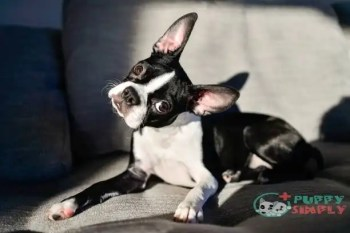 Boston Terrier toy dog breeds