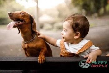 Dachshund toy dog breeds