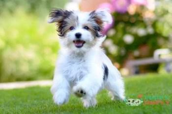 Havanese toy dog breeds