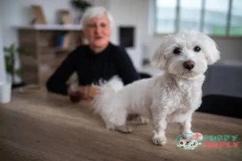 Maltese toy dog breeds