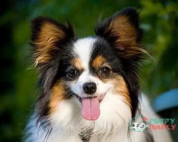 Papillon toy dog breeds