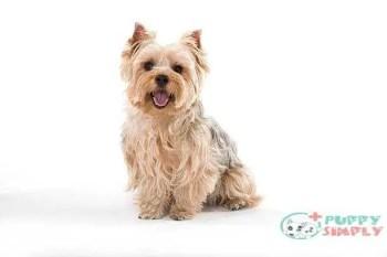 Yorkshire Terrier toy dog breeds