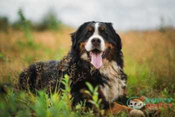 Bernese Mountain Dog farm dog