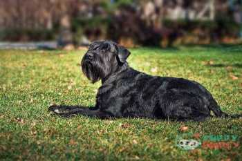 The Standard Schnauzer farm dog