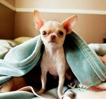 small lap Chihuahua