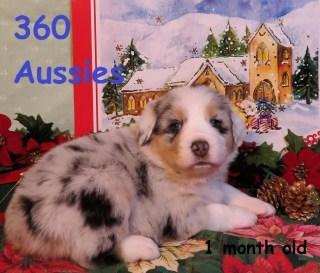 360 AUSSIES - Australian Shepherd Breeder