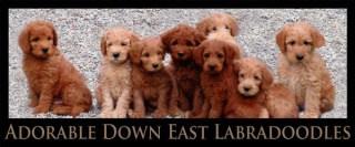 Adorable Downeast Labradoodles