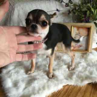 Debs Chihuahuas