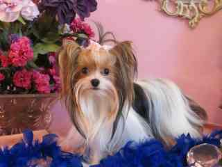 Dancing Parti Yorkie for Sale
