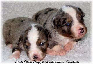 Little Deb's Toy/Mini Australian Shepherds