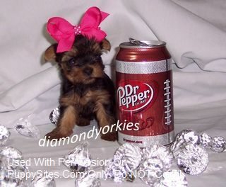 Diamond Yorkies