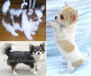 Halo Chihuahuas